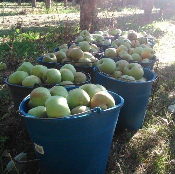 cestos de manzanas recien cogidas