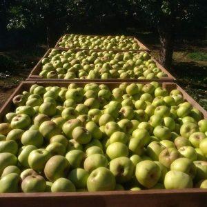 tres cajones grandes llenos de manzanas recien cogidas