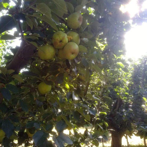 unas manzanas a contraluz colgando de un arbol